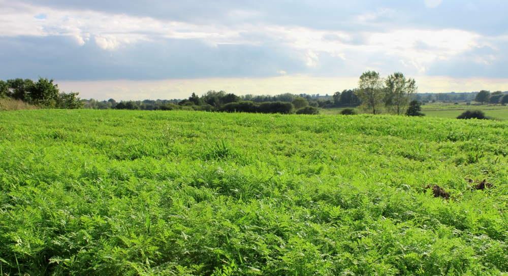 Les engrais verts