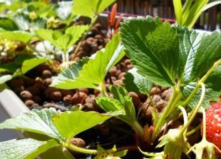 Planter des fraises sur son balcon