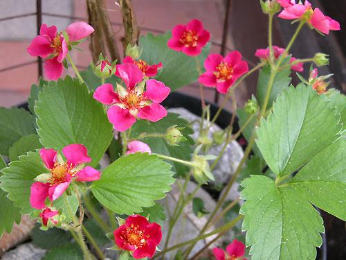 jardinage conseils fraisiers