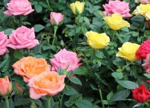 Plantation des rosiers