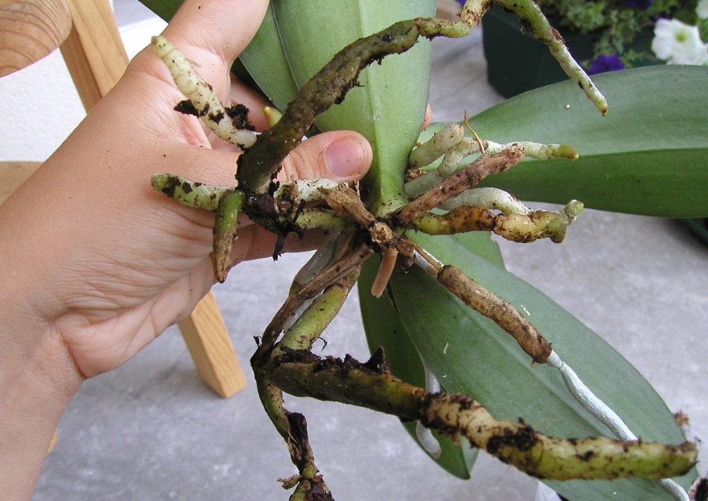 multiplication des orchidées